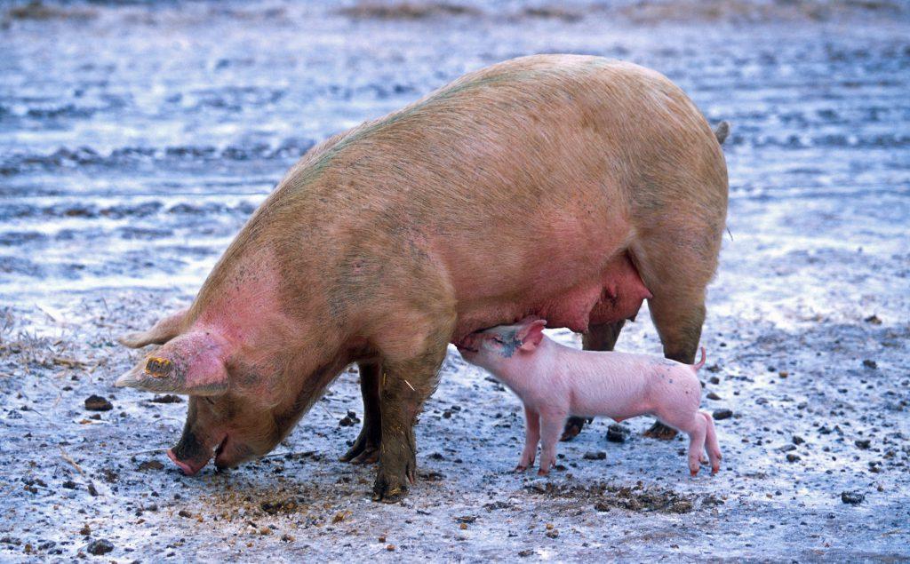 Een zogend varken