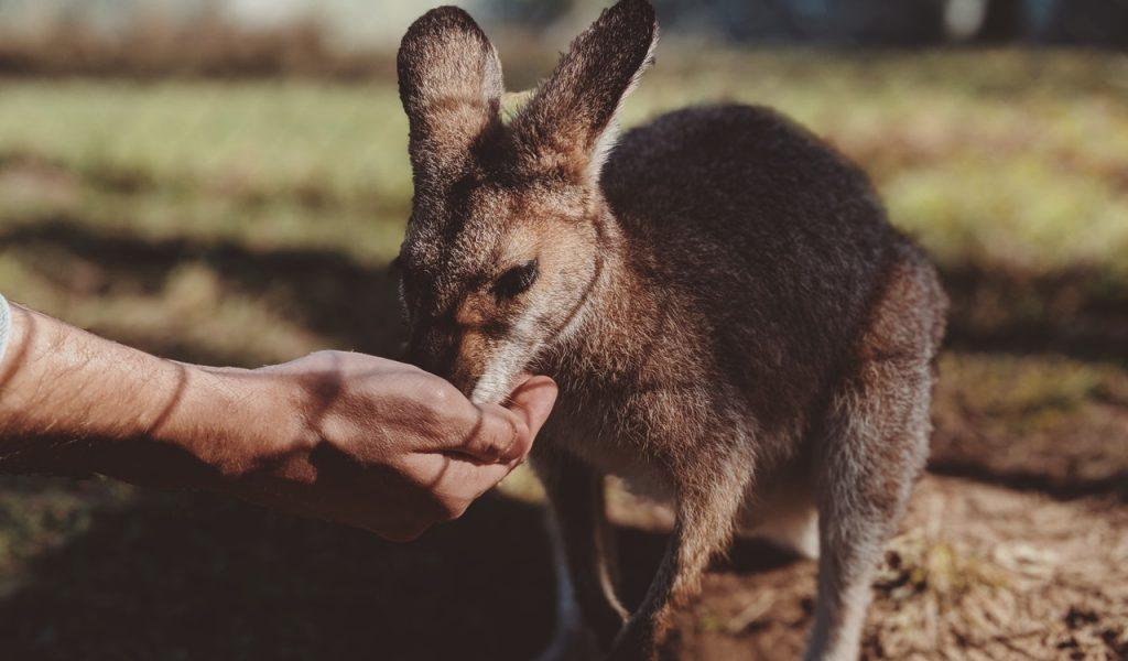 Een kangoeroe die voeders eet