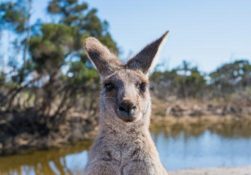 Kangoeroe die naar de camera kijkt