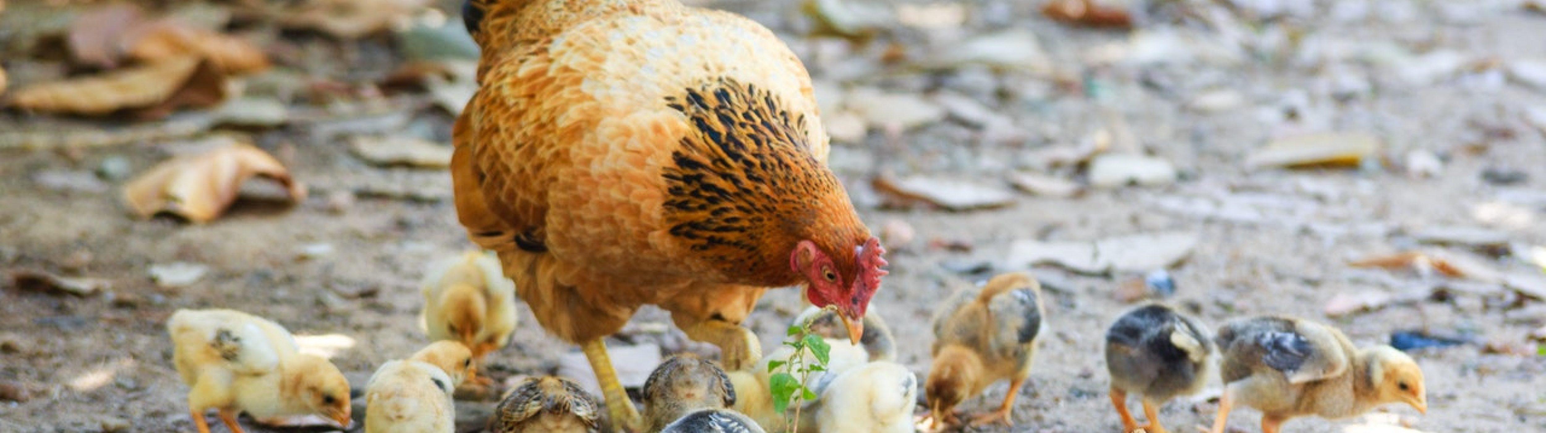 Een kip met kuikens voeders aan het oppikken