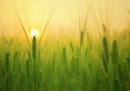 Een veld vol koren