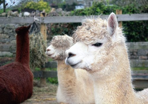 Lama die naar de camera kijkt