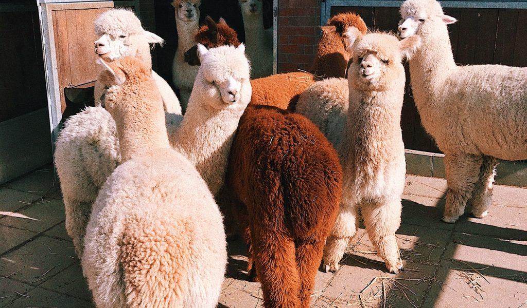 Lama's voor een voeder stal