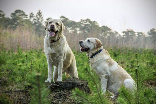 Twee honden nagenietend van onze hondenbrokken