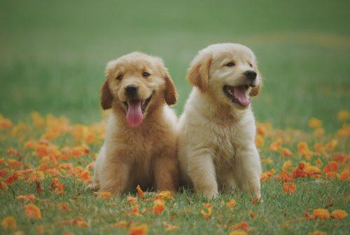 Twee kleine honden in het gras