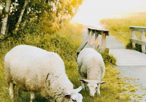 Twee grazende schapen