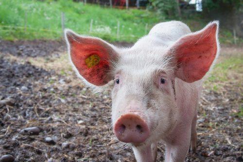 Een varken in een modderpoel